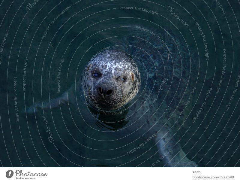 Kopfkino Tier Robben Seerobbe Wildtier Küste Natur Meer Wasser Nordsee Seehund Kegelrobbe