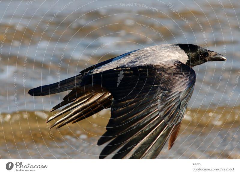 Jetzt aber schnell weg... Rabe Krähe Vogel fliegen Tier Flug Flügel Wasser elegant schwarz Rabenvogel Meer