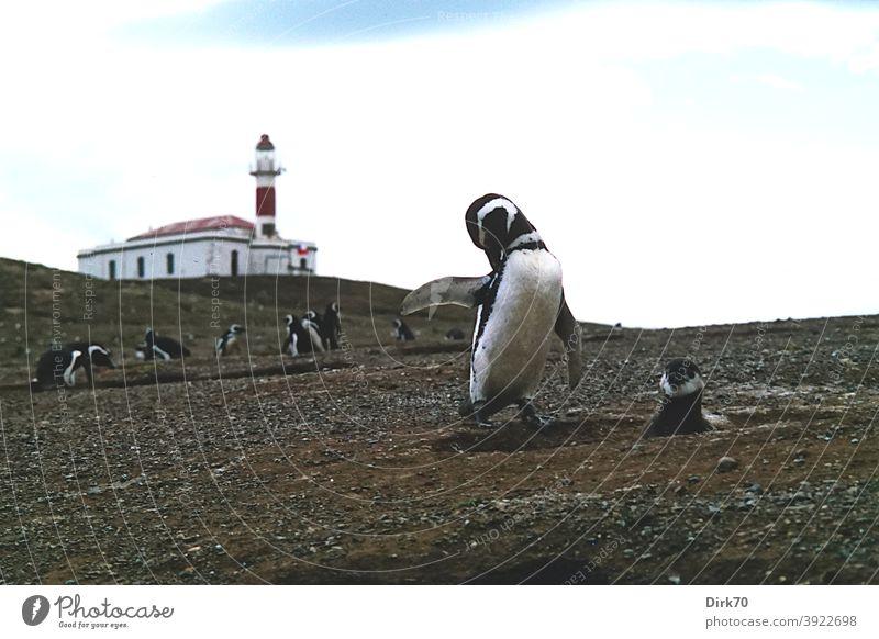 Magellan-Pinguin auf der Isla Magdalena in der Magellanstraße Pinguine Magellanpinguine Vogelkolonie Brutkolonie Tier Farbfoto Außenaufnahme Tag Menschenleer