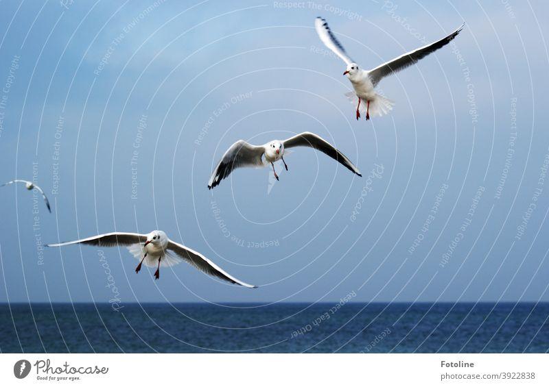 Perfekt für das Studium des Fliegens - oder Möwen fliegen durch die Luft vor einem blauen Himmel über dem Meer. Vogel Freiheit Flügel Feder Luftverkehr Lachmöwe