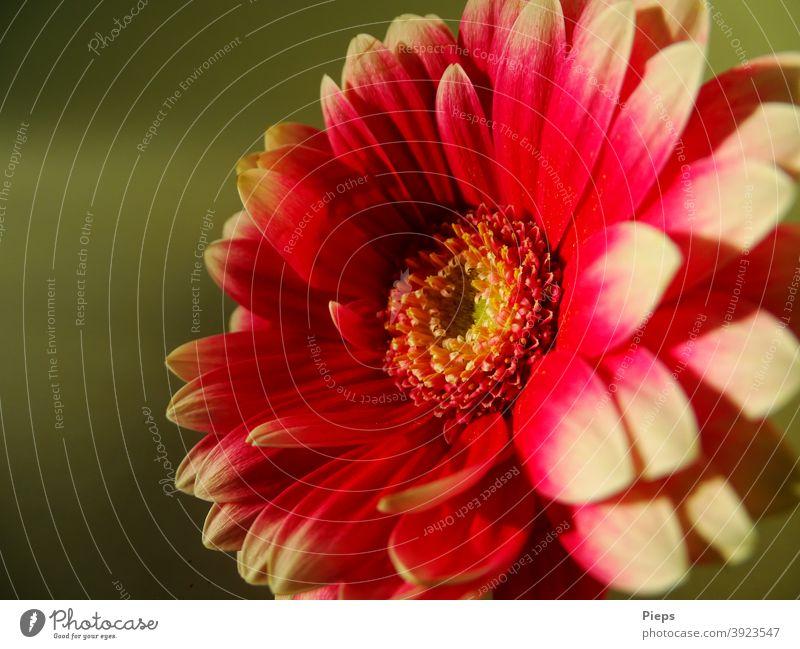 Rote Gerbera mit weißen Spitzen vor grünem Hintergurnd Blume Blütenblätter zweifarbig Floristik Geschenk dekorativ Freundschaft Aufrichtigkeit natürlich frisch