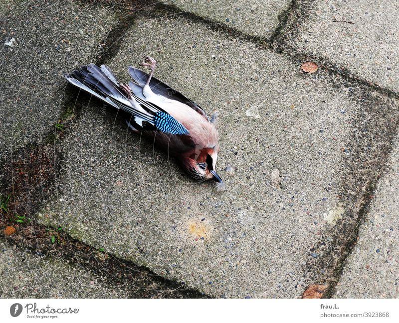 Schöner toter Eichelhäher Vogel Wildvogel Rabenvogel Stadt Fußweg gestorben Tod Krankheiten Unfall Vogelgippe Waldvogel