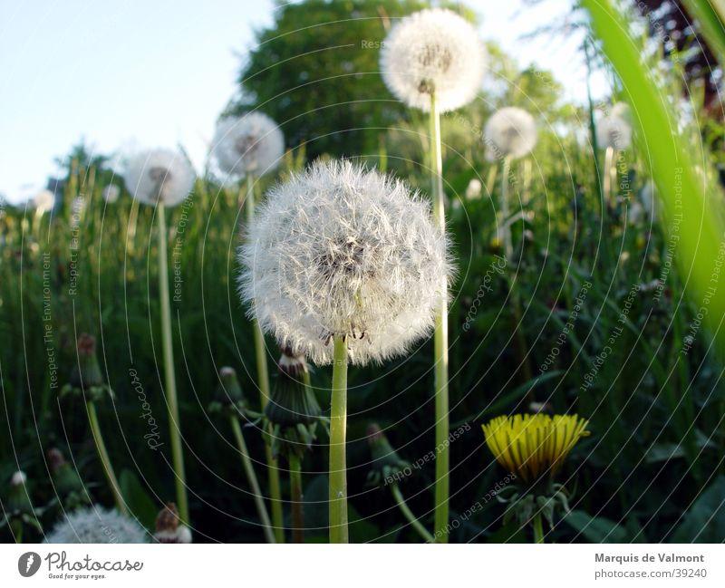 warten auf den windstoß... grün Sonne Sommer Wiese Gras Löwenzahn