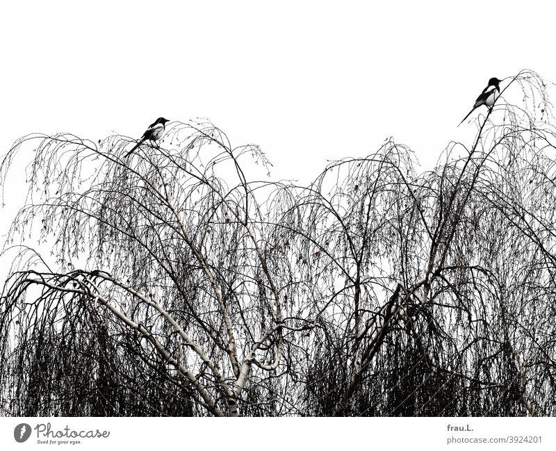 Zwei Elstern im Winter Vogel Tier Natur Baum Birke Paar monogam Wildvogel Rabenvogel Himmel