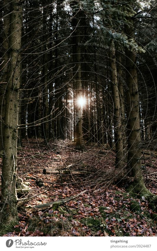 Sonnenlicht Im Nadelwald sonnenlicht sonnenschein wetter wandern nadelwald tanne tief dunkel waldboden sonnenaufgang sonnenuntergang baum baumstamm explore