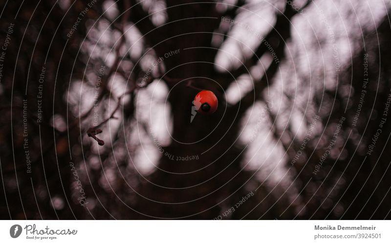 Düstere Natur Hagebutte Pflanze rot Außenaufnahme Farbfoto Menschenleer Blatt Tag Umwelt Sträucher Hagebutten Wildpflanze Detailaufnahme Winter trist düster