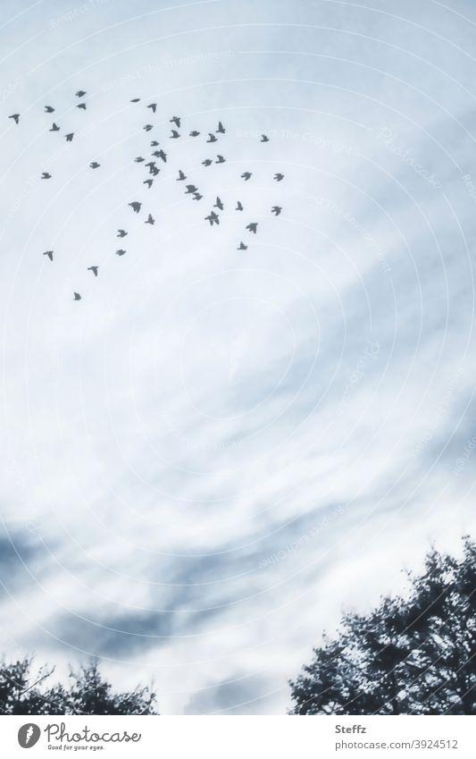 Schwarmverhalten Vögel Vogelschwarm heimisch nordische Romantik Sinn poetisch malerisch Vogelschar hoch oben Vogelflug blaugrau verträumt romantisch nostalgisch
