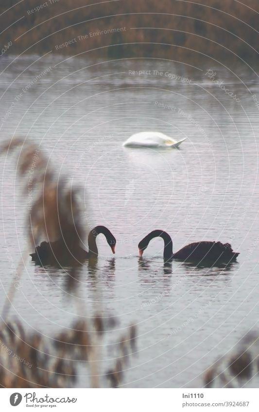 Schwanensee - zwei einander zugewandte schwarze Schwäne und ein weißer abgetauchter Schwan auf Futtersuche See Gewässer 3 Tiere Wasservögel Wildtiere Ruhe