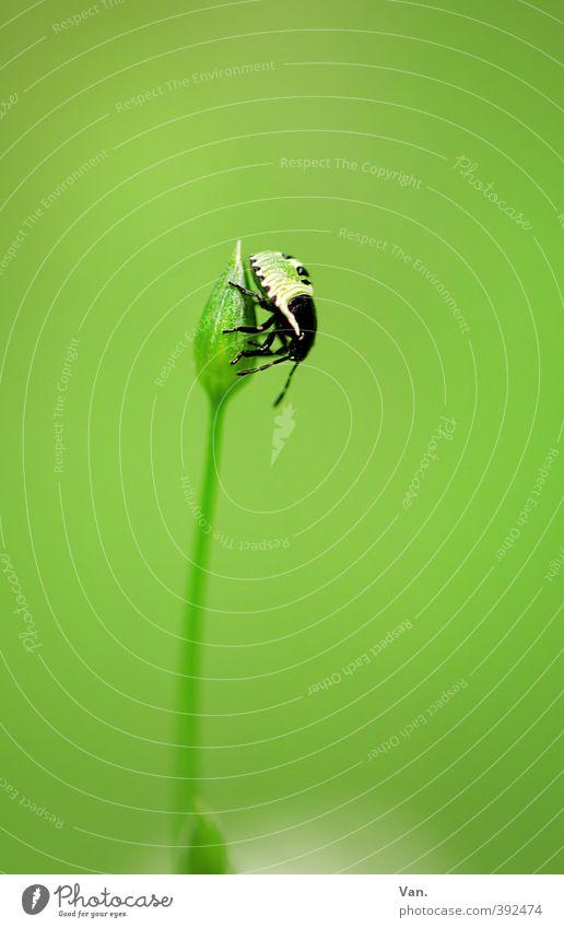 Krabbelkäfer Natur Pflanze Tier Sommer Blume Blütenknospen Stengel Wiese Käfer Insekt 1 krabbeln frisch klein grün Farbfoto mehrfarbig Außenaufnahme Nahaufnahme