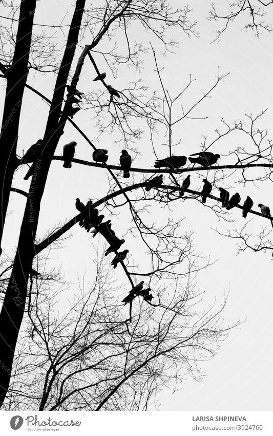 Schwarze Silhouette von kahlen Baum mit Vögeln Tauben auf weißem Hintergrund Vogel Vögel sitzend im Freien schwarz Natur vereinzelt Kunst Ast Wald Pflanze