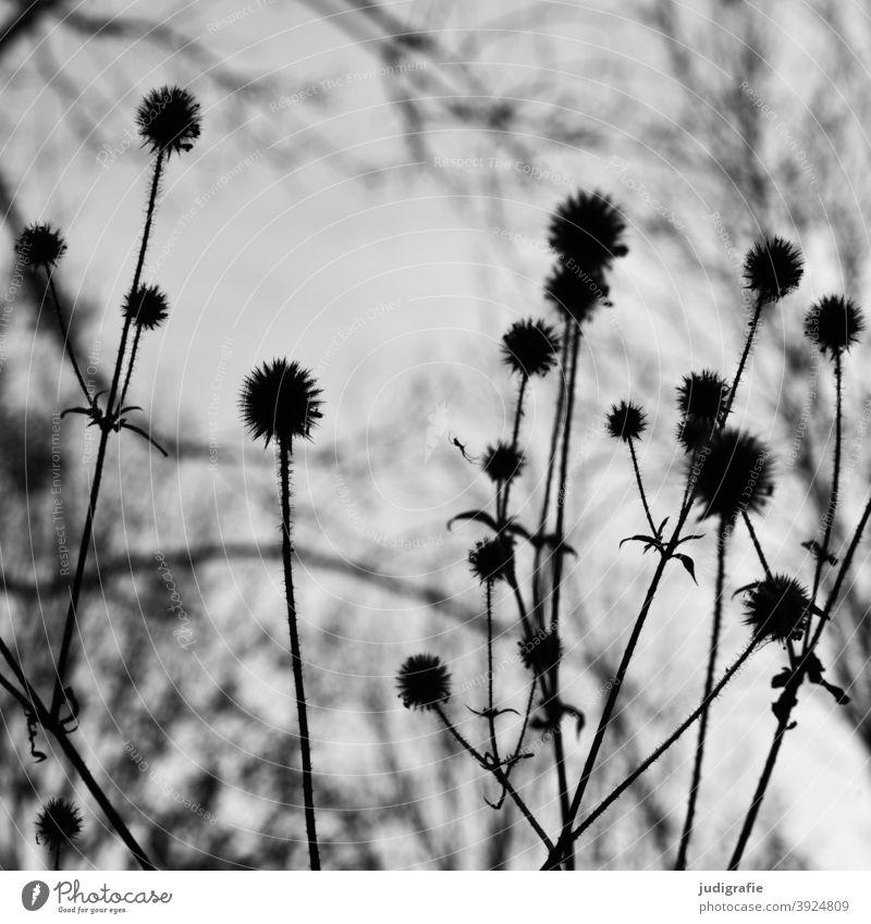Wiese in schwarz-weiß Natur Blüte Pflanze wachsen Schwarzweißfoto Blume Garten Stengel stiel Blatt