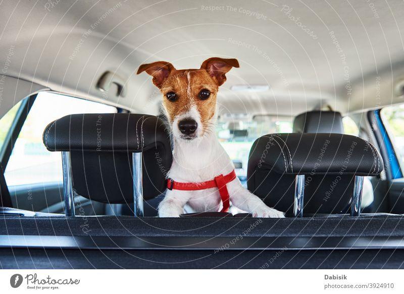Jack Russell Terrier Hund schaut aus dem Autositz PKW Fenster Haustier Fahrer lustig Tier niedlich reisen Spaß Welpe Sommer Fahrzeug Ausflug Automobil weiß