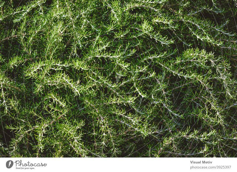 Hintergrund von wilden aromatischen Zweigen von Rosmarinsträuchern Pflanzen Sträucher Blätter Laubwerk grün Natur organisch Botanik Flora Textur im Freien