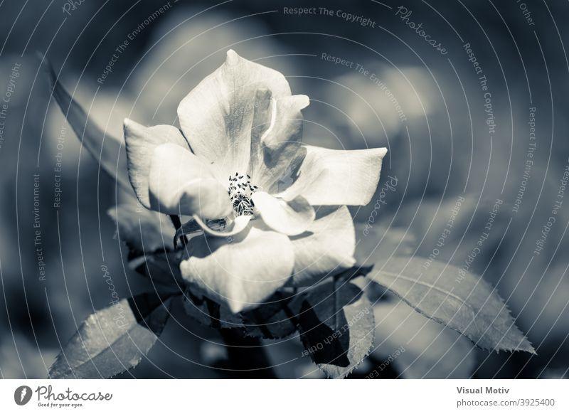 Nahaufnahme einer weißen Rose in kaltem Duoton Blume Roséwein Natur Botanik Blütezeit Flora Blütenblätter blumig geblümt Monochrom Blütenstand Pflanze botanisch