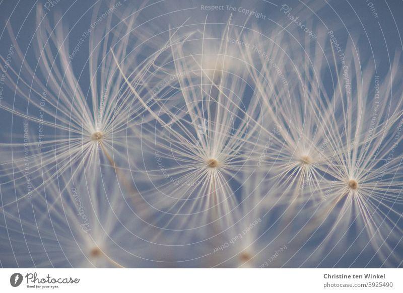 Silvester 2020. Wie ein Feuerwerk wirken die Schirmchen der Pusteblume 2020/2021 Jahreswechsel Corona Coronakrise Makro Natur Blume verblüht wunderschön zart