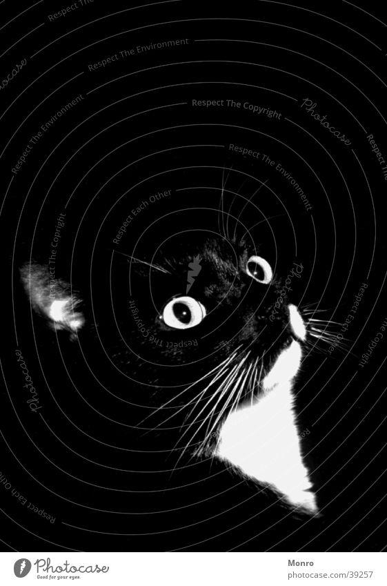 Mikesch Katze Hauskatze Schwarzweißfoto Kontrast Detailaufnahme