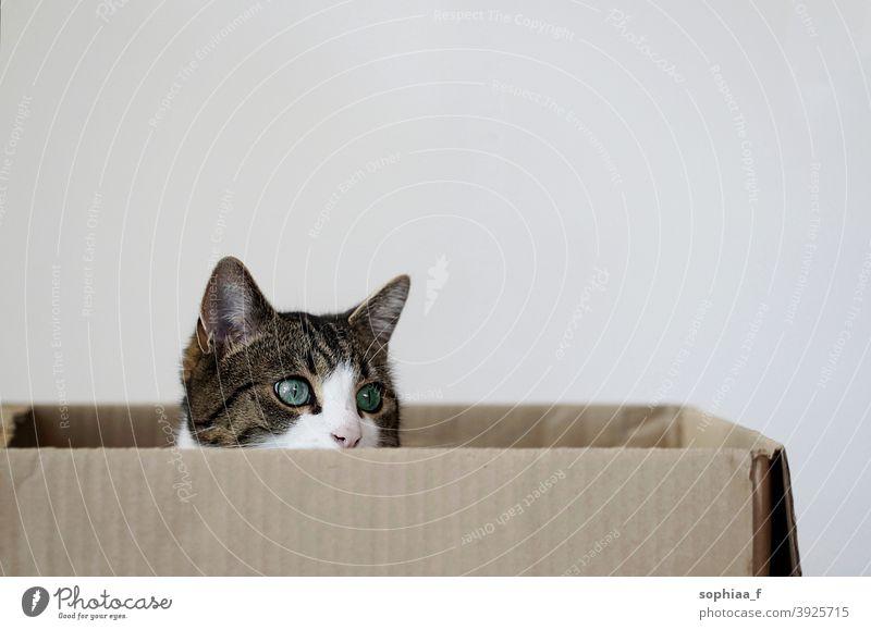 Katze sitzt in einem Pappkarton Schachtel Kasten Karton neugierig im Inneren Gesicht Porträt Katzen verborgen Haustier Paket zuschauen Aussehen Verpackung