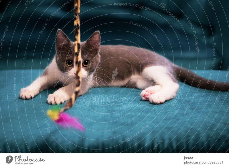 Junges Kätzchen fixiert gespannt ein Spielzeug Katze spielen jung spielerisch Konzentration blau Augen grau-weiß Fell Spielen im Innenbereich Sofa niedlich