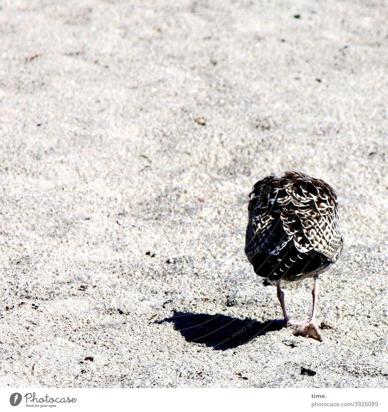 young animal blues möwe vogel strand sand gehen gesenkter Kopf sonnig schatten tierportrait rückansicht