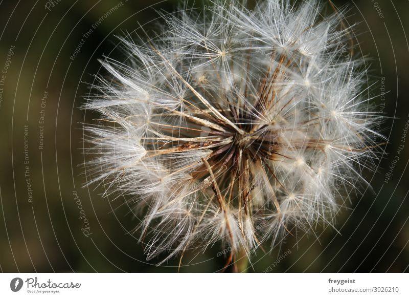 Löwenzahn-Vergänglichkeit Pusteblume Trockenblume Makroaufnahme Natur Nahaufnahme Blume Pflanze Blüte Detailaufnahme natürlich Umwelt Wildpflanze Farbfoto