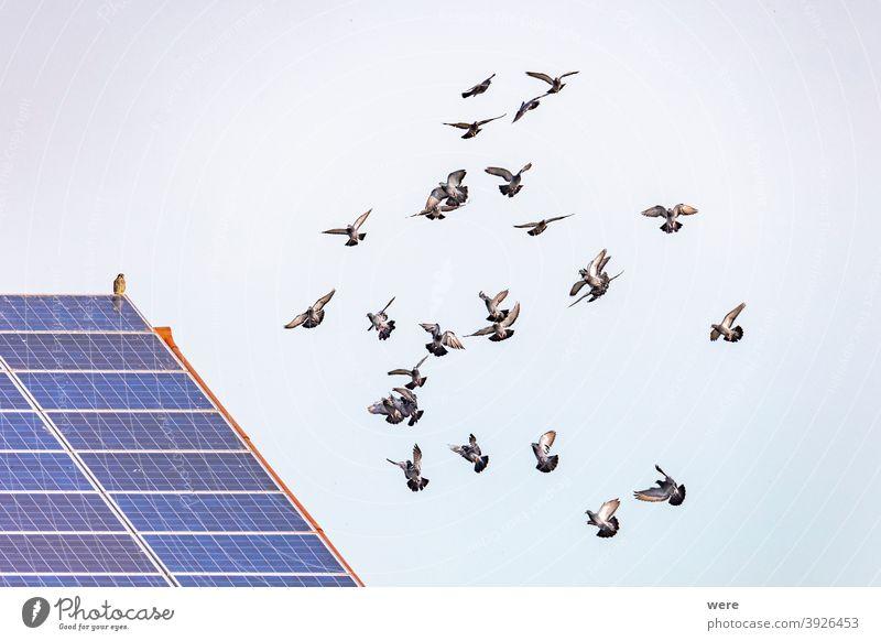 ein Schwarm fliegender Tauben vor einem Dach mit Sonnenkollektoren, auf dem ein Habicht sitzt buteo Tier Tiermotive Tierwelt Tiere in der Wildnis