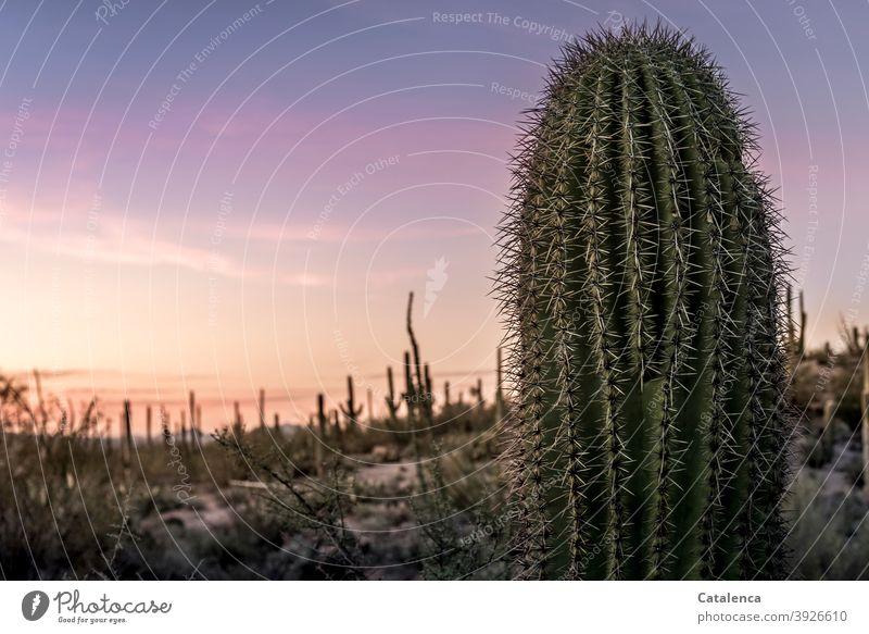 Nahaufnahme eines Saguaro Kaktus, im Hintergrund Wüstenlandschaft im Abendrot Natur Flora Pflanze Kaktee Stacheln spitz lang trocken Steine Himmel Stäucher