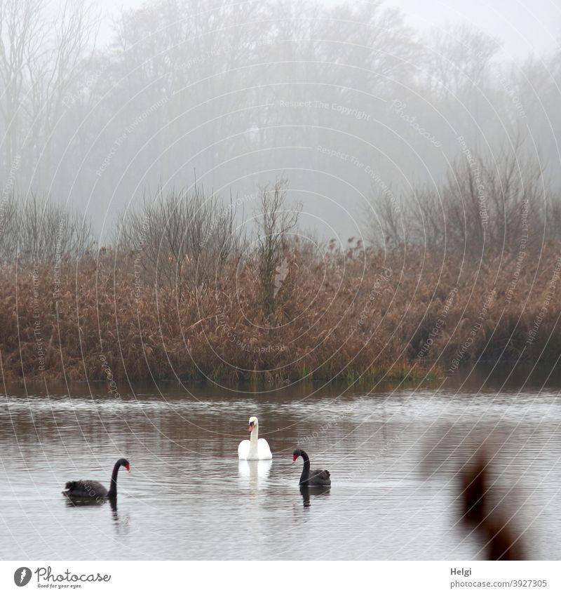 Schwanensee - zwei schwarze und ein weißer Schwan schwimmen an einem nebeligen Dezembermorgen auf einem Teich schwarzer Schwan Trauerschwan Tier Vogel See Nebel