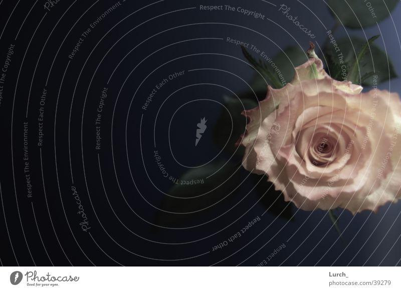 Rose Vogelperspektive rosa Blume