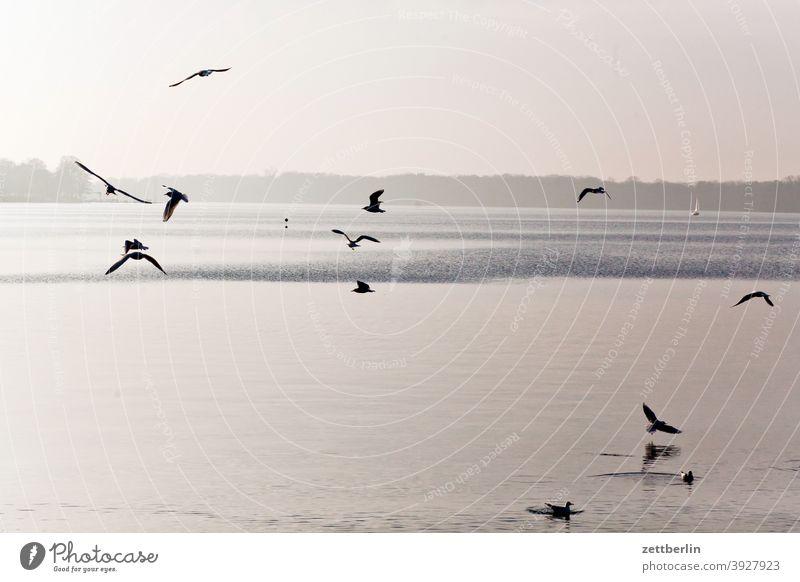 Vögel am Tegeler See berlin fliegen gans gewässer havel kanadagans möwe schwan see spatz tegel tegeler hafen tegeler see ufer umland vogel wasser wasserspiegel