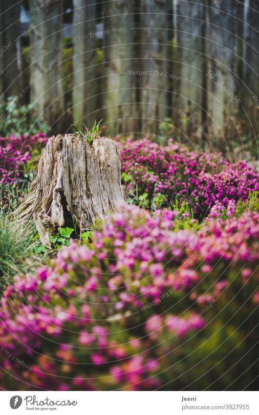 Ein alter Baumstumpf in mitten eines pinkfarbigen Blumenmeers Baumstamm verrotten Totholz Holz Wandel & Veränderung dekorativ Außenaufnahme Farbfoto Blumenwiese