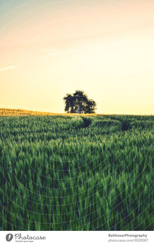 Sonnenuntergang - Feld - Baum Deutschland Brandenburg Korn unreif Himmel warm Sommer Stimmung atmosphärisch grün gelb Getreidefeld Ähren Ackerbau Ernährung