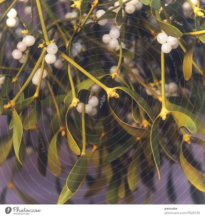 kraftstoff Mistel Druiden Heilung Heilkraut Winter Weihnachten & Advent Tradition Weihnachtsdekoration Gesundheit Wildpflanze Beeren weiß Zauberkraft Medikament