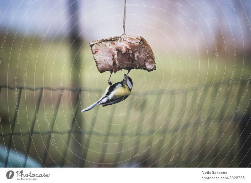 Kohlmeise isst Speck im Wintergarten. Auf dem Kopf stehend. Aktion Tier Schlacht Schnabel schön Vogel Vögel blau kalt Farbe farbenfroh niedlich essen Feder