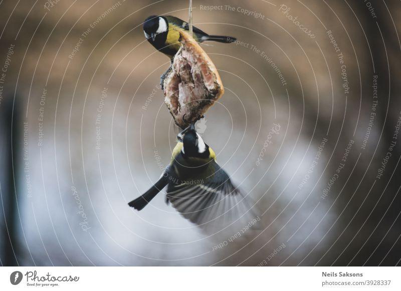 Zwei Kohlmeisen essen Speck im Wintergarten. Aktion Tier Schlacht Schnabel schön Vogel Vögel blau kalt Farbe farbenfroh niedlich Feder Zuführung kämpfen Flug