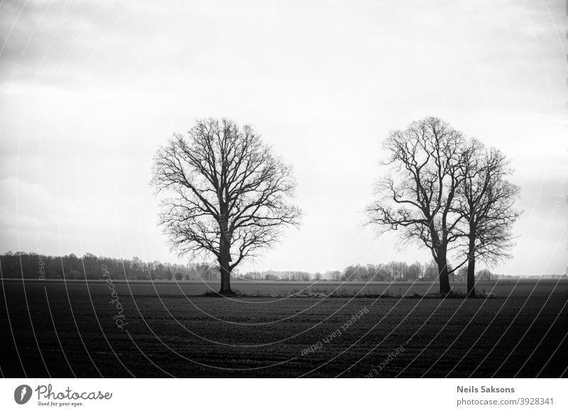 drei Bäume auf Wiese bei nebligem Sonnenuntergang in schwarz-weiß. Winter in Lettland. Eichen ohne Blätter Landschaft Panorama Sonnenaufgang Landschaften Herbst