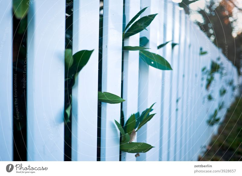 Kirschloorbeer hinter Gartenzaun lattenzaun gartenzaun grundstück grundstücksgrenze lücke zwischenraum neugier blatt pflanze kirschloorbeer perspektive