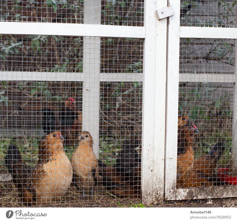 Braune Zierhühner im Käfig, ausgefallene Erscheinung im Hinterhof Großaufnahme Hähnchen Tier züchten Haustier ornamental Federn Vogel Federvieh Gefieder