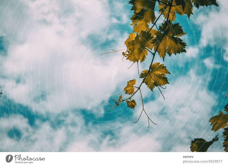 vitis vinifera Blätter auf einem Hintergrund des blauen Himmels Vitis vinifera Gewöhnliche Weinrebe Traube Wolken horizontal Farbe Textfreiraum links