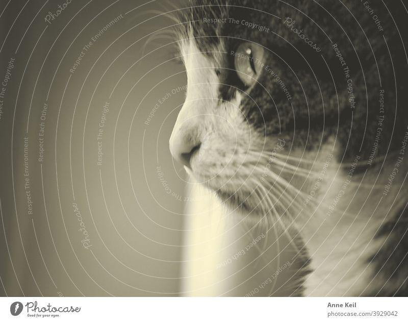 Kater in Sepia, schaut was draussen los ist. Katze Haustier Blick kuschlig Katzenkopf Katzenauge beobachten Auge Wachsamkeit Tier Tiergesicht Fell