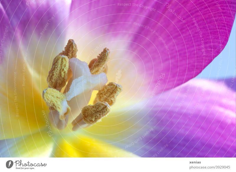 Eine geöffnete Tulpe mit Staubblätter Stempel Pollen Frühling Frühlingsgefühle rosa gelb Pflanze Blüte Blume Natur Blütenblatt Staubgefäße xenias Griffel