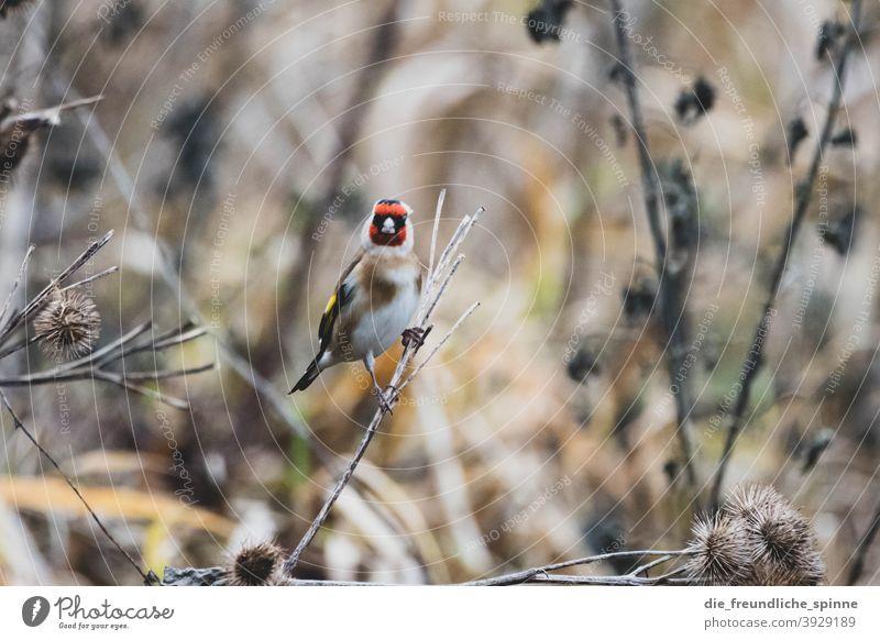 Stieglitz im Winter Distelfink Fink Vogel fliegen rot Tier Natur Außenaufnahme Wildtier Tag Tierporträt sitzen klein niedlich Nahaufnahme Farbfoto Ast Umwelt