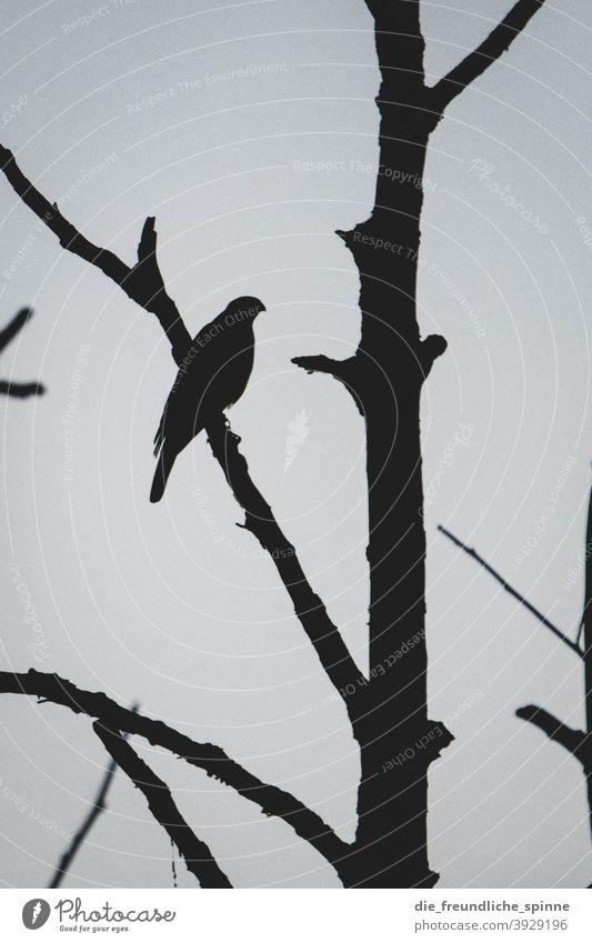 Habicht im Gegenlicht Vogel Greifvogel Wildtier Wildtiere Ornithologie Tier Natur Feder Schnabel Blick Farbfoto Umwelt Tierporträt schön Außenaufnahme