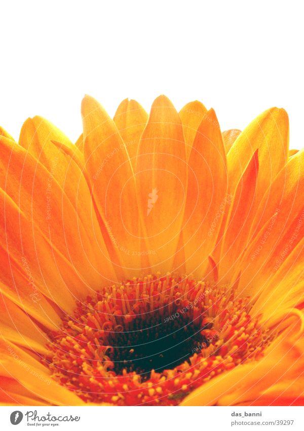 flower power Natur weiß Blume rot Sommer schwarz gelb Farbe springen Blüte Frühling Wärme orange Brand frisch rund