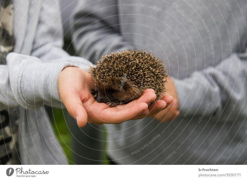 Kleiner Igel in Kinderhänden Tier Wildtier stachelig Natur halten Hand Stachel klein niedlich Garten Herbst