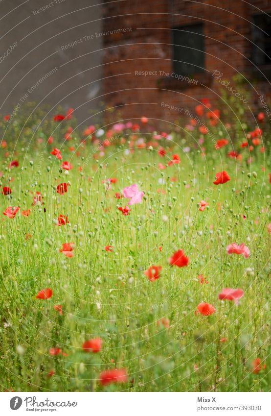 Mohnfeld Blume Blüte Wiese Menschenleer Ruine Mauer Wand Blühend Duft Verfall Unbewohnt bewachsen wilder Garten verwildert Mohnblüte Farbfoto mehrfarbig