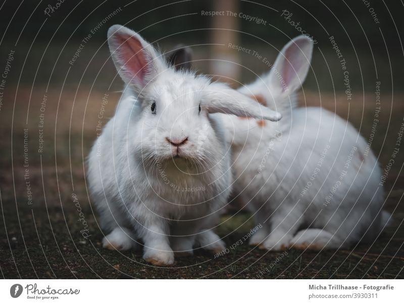 Weiße Zwerghasen Zwergkaninchen Kaninchen Hasen Kopf Augen Nase Maul Ohren Schlappohr Pfoten Fell niedlich neugierig Blick beobachten anschauen Haustier klein
