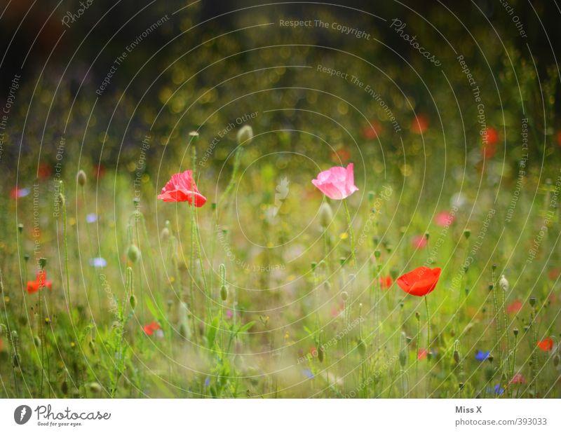 Mohnfeld Pflanze Sommer Blume Blüte Wiese Blühend Duft Wachstum mehrfarbig Farbfoto Außenaufnahme Menschenleer Textfreiraum oben Schwache Tiefenschärfe