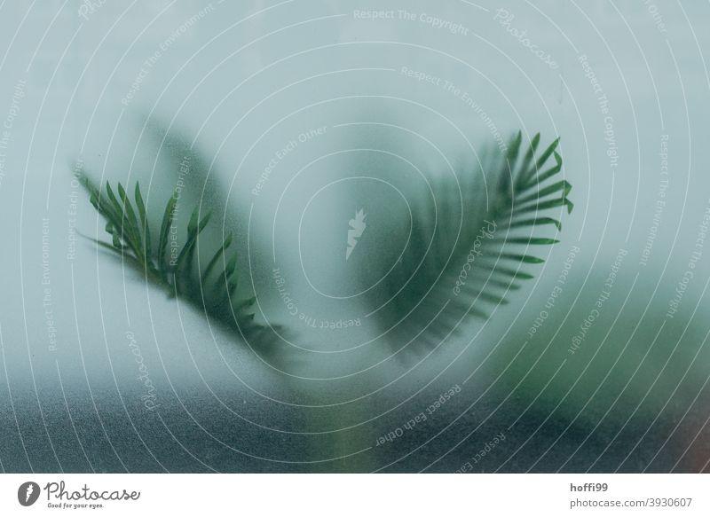 die Blätter einer Zimmerpalme verflüchtigen sich im Ungewissen hinter einer Fensterscheibe Abschied Trauer Blatt palmenblatt Tod diffuses licht Diffusion Licht