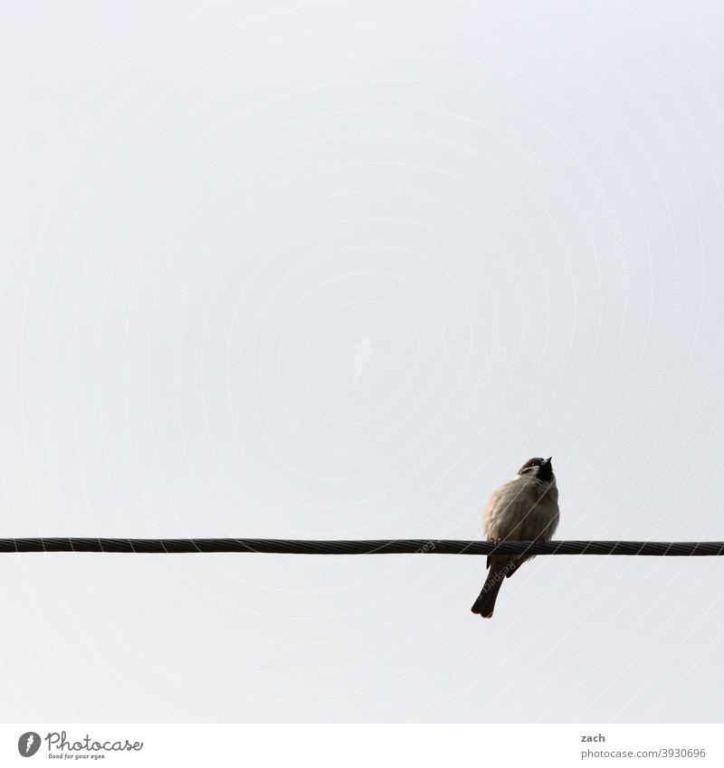 Sitzgelegenheit grau sitzen 1 Vogel Tier Kabel Hochspannungsleitung Energiewirtschaft Spatz sperling Sommer Frühling Natur