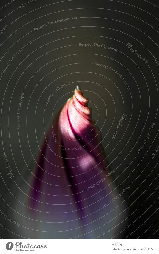Neugierig, was das neue Jahr bringen mag. Beleuchtete Spitze der Blütenknospe einer Winde Neuanfang Vorfreude Spirale Reinheit harmonisch Leben Blütenknospen